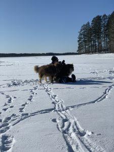 Nainen ja kaksi Lapinporokoiraa lumisen järven jäällä.